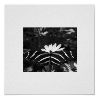 B&W Zebra Butterfly on White Poster