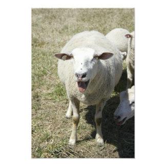 Baa Baa'ing de las ovejas en la cámara en una gran Cojinete