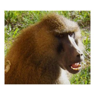 Baboon Face Showing Teeth Poster