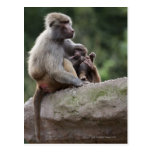 Baboon mother nursing her young postcards