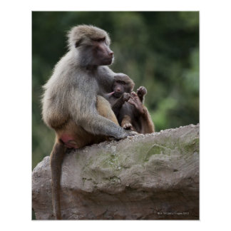 Baboon mother nursing her young poster