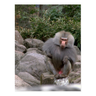 Baboon Post Cards