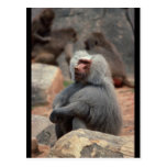 Baboon Sitting Post Card