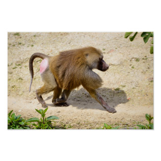 Baboon walking on ground poster