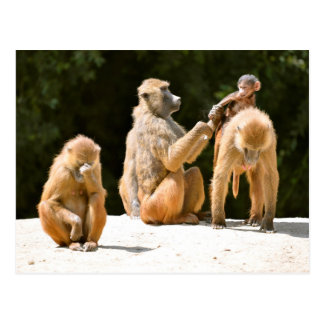 Baboons and young postcard