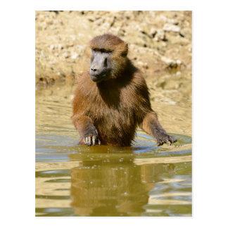 Babuino de Guinea en agua Postales