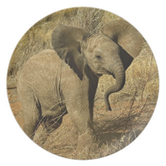 Baby African Elephant, Loxodonta Africana, Plate