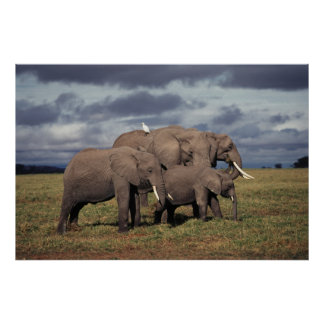 Baby African Elephant with family Poster