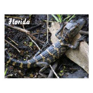 Baby Alligator in Florida postcard