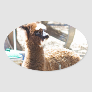 Baby Alpaca - Vicugna pacos Oval Sticker
