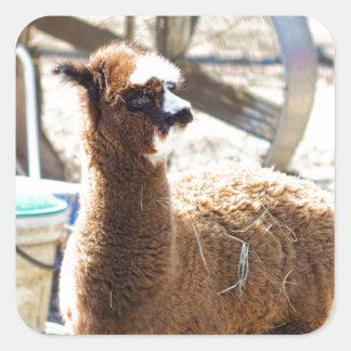 Baby Alpaca - Vicugna pacos Square Sticker