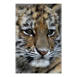 Baby Amur Tiger Cub Portrait Print