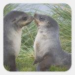 Baby Antarctic Fur Seal Arctocephalus