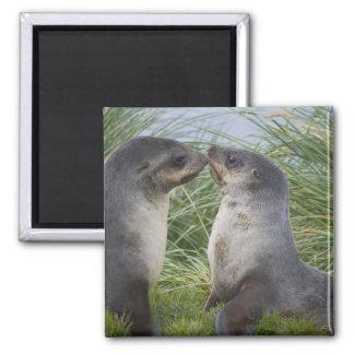 Baby Antarctic Fur Seal Arctocephalus 2 Inch Square Magnet