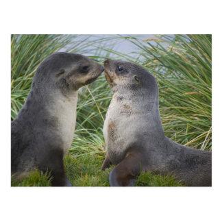 Baby Antarctic Fur Seal Arctocephalus Post Cards