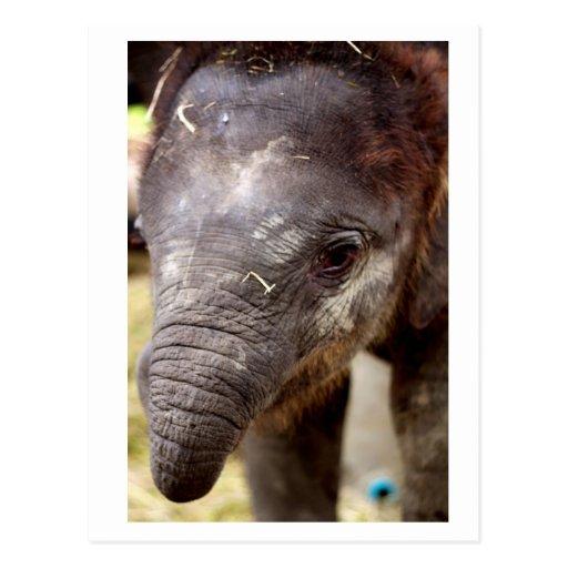 Baby Asian Elephant_03 Postcard