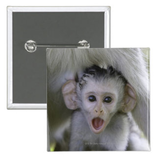 Baby baboon underneath its mother button