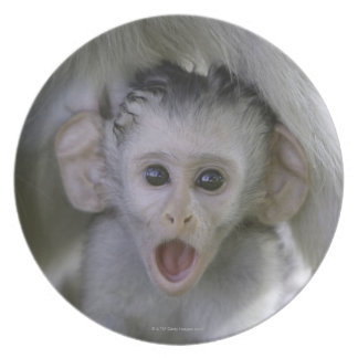 Baby baboon underneath its mother party plate