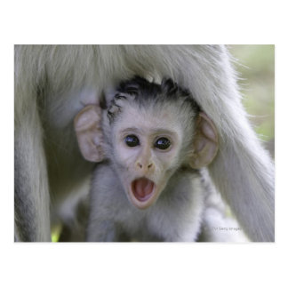 Baby baboon underneath its mother postcard