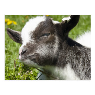 Baby Bagot Goat   Rare Breed Postcard