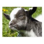 Baby Bagot Goat | Rare Breed Postcards