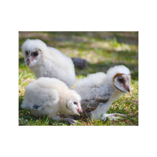 Baby barn owls stretched canvas prints