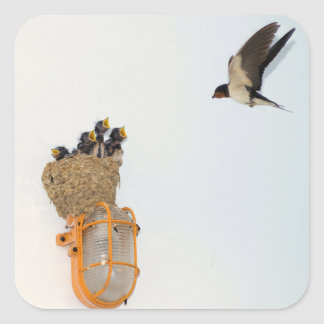 Baby Barn Swallows being fed by their mother Square Sticker