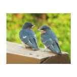 Baby Barn Swallows Nature Bird Photography Canvas Print
