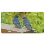 Baby Barn Swallows Nature Bird Photography License Plate