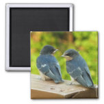 Baby Barn Swallows Nature Bird Photography 2 Inch Square Magnet