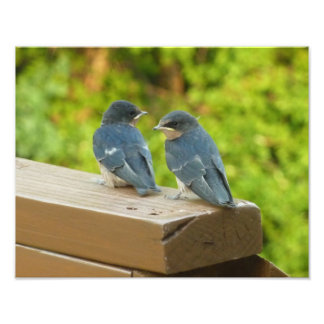 Baby Barn Swallows Nature Bird Photography Photo Print