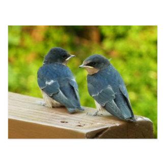 Baby Barn Swallows Nature Bird Photography Postcard