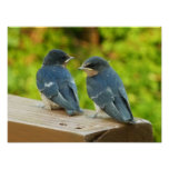 Baby Barn Swallows Nature Bird Photography Poster