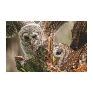 Baby Barred Owl, Strix varia Canvas Print