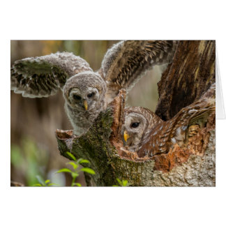 Baby Barred Owl, Strix varia Card