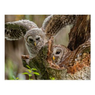 Baby Barred Owl, Strix varia Postcard