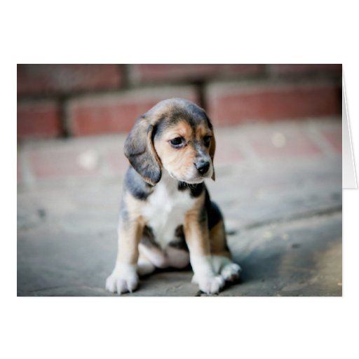 Baby Beagle Sitting Greeting Card