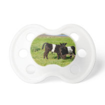 Baby Belted Galloway Cows In Country, Pacifier