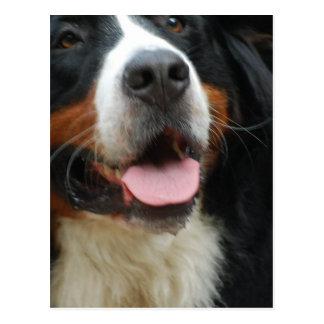 Baby Bernese Mountain Dog Postcard