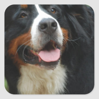 Baby Bernese Mountain Dog Square Sticker