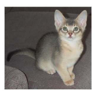 Baby big eye big ear Abyssinian blue male kitten Poster
