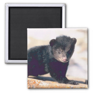 Baby Black Bear Magnet