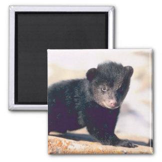 Baby Black Bear Magnets