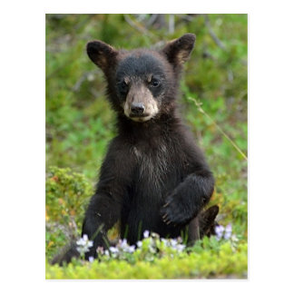 Baby Black Bear Postcard
