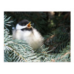 Baby Black Capped Chickadee - Postcard