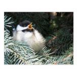 Baby Black Capped Chickadee - Postcard