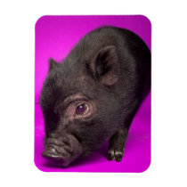 Baby Black Pig Magnet