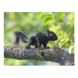 Baby Black Squirrel Postcard