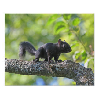 Baby Black Squirrel Poster