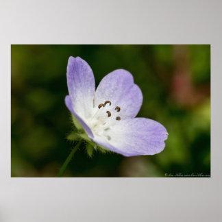 Baby Blue Eye Wildflower Poster